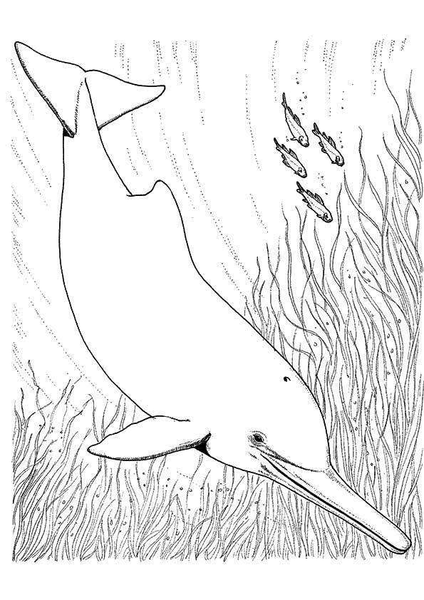Amazon-River-Dolphin