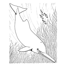 amazon river dolphin coloring pages - Dolphins Coloring Pages