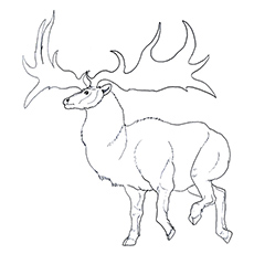 reindeer coloring page norway islands reindeer