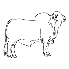 Cute Bull Coloring Pages For Your Toddler