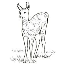 Adult Llama