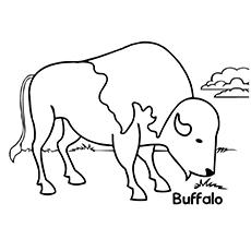 Buffalo eat