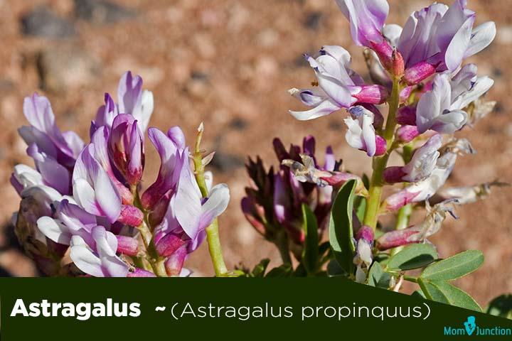 Astragalus-Astragalus-propinquus