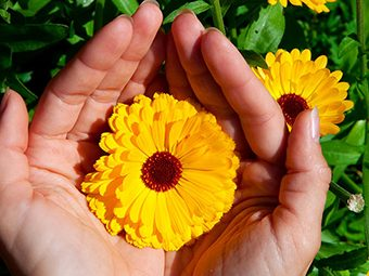 Calendula During Pregnancy - How Is It Useful?