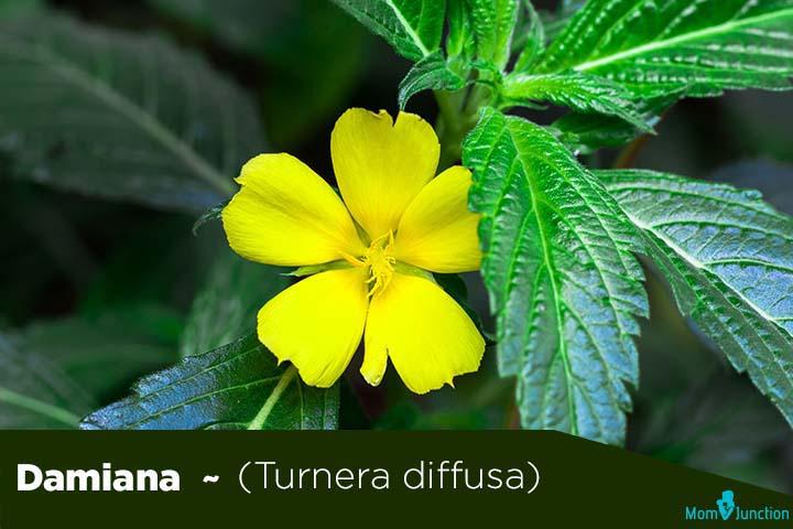 Damiana-Turnera-diffusa
