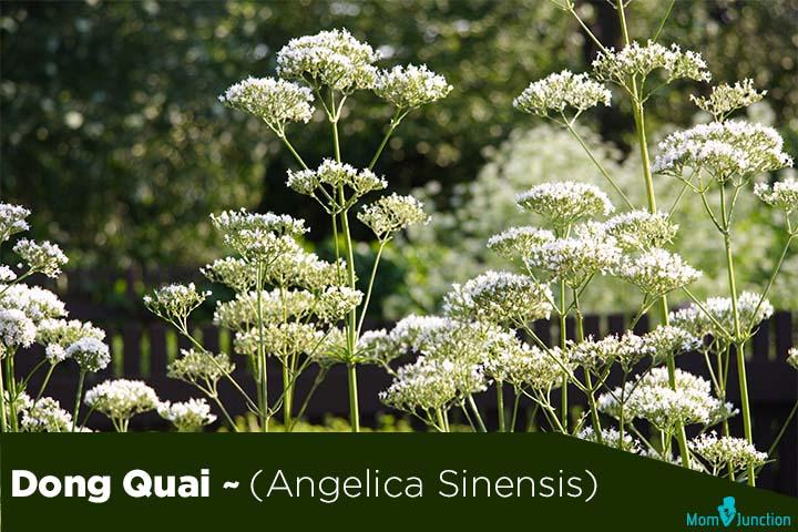 Dong-Quai-Angelica-Sinensis