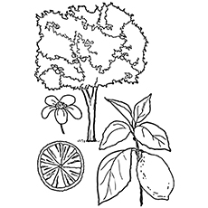 Lemon Coloring Page - Femminello St. Teresa Lemon Tree