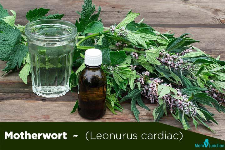 Motherwort (Leonurus cardiac)
