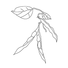 Romano Beans On The Tree Coloring Sheet