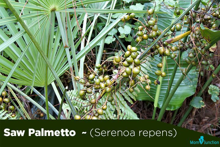 Saw-Palmetto-Serenoa-repens