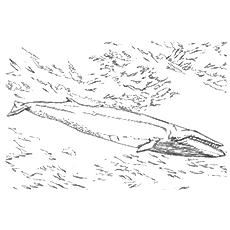Whale Coloring Pages - Sei Whale