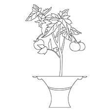 Tomato Coloring Page - Tomato Plant