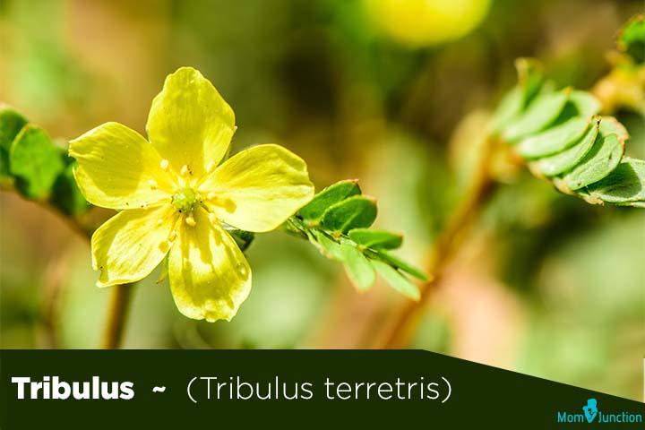 Tribulus-Tribulus-terretris