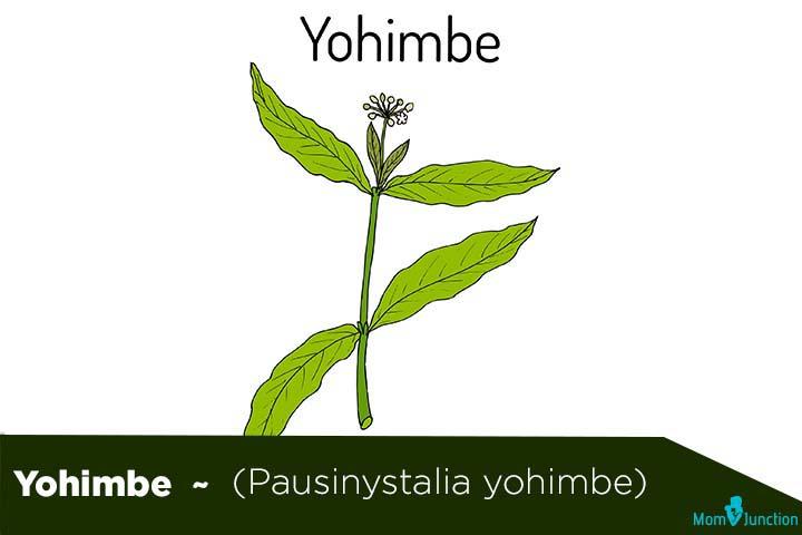Yohimbe (Pausinystalia yohimbe) (2)