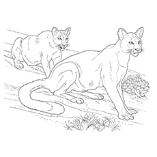 Cougar Coloring Page - A Pair Of Cougar On The Desert