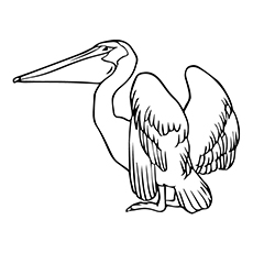 Pelican Coloring Page   American White Pelican