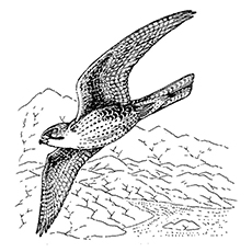 Falcon Coloring Pages - Aplomado Falcon