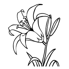 Lily Coloring Pages - Asiatic Lily
