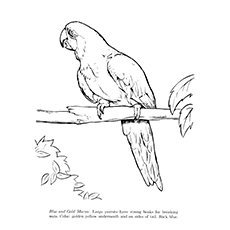 Macaw Coloring Page - Blue And Gold