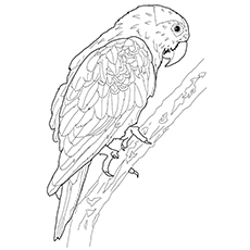 Macaw Coloring Page - Blue Throated Macaw