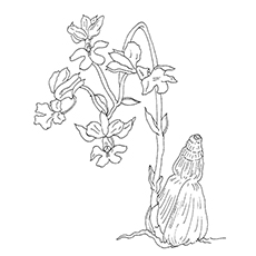 Orchid Coloring Pages - Calanthe Vestita Orchid