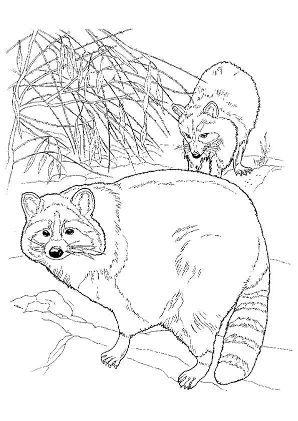 Chesapeake-Bay-Raccoon