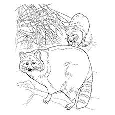 Chesapeake Bay Raccoon Coloring Page
