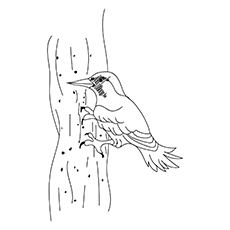 Gila-Woodpecker-16