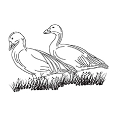 Greylag Goose Coloring Page