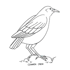 Hooded Crow Coloring Page