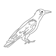 Crow Coloring Page - Jackdaws