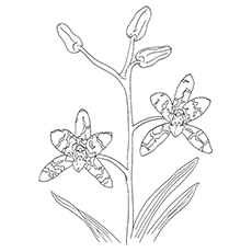 Orchid Coloring Pages - Leopard Orchid
