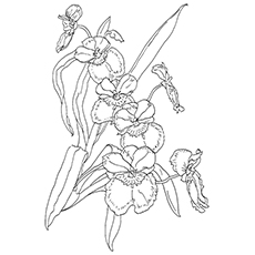 orchid coloring pages miltonia pansy orchid