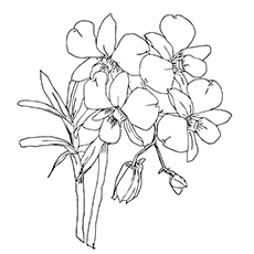 Orchid Coloring Pages - Moth Orchids
