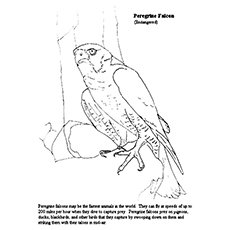 falcon coloring pages peregrine