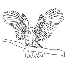 falcon coloring pages prairie falcon
