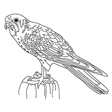 Falcon Coloring Pages - Red-footed Falcon
