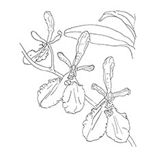 Orchid Coloring Pages - Renanthera Imschootiana Orchid