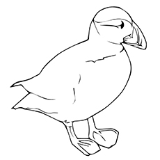 Rhinoceros Auklet Coloring Page