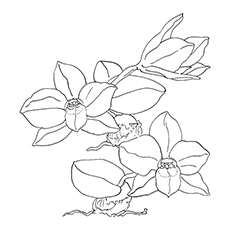 orchid coloring pages sarcochilus orchid