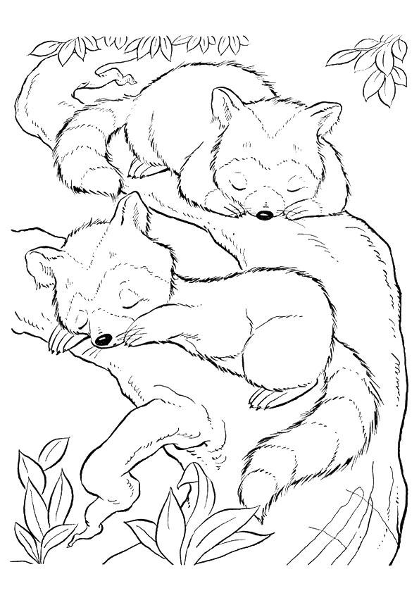 Sleeping-Raccoon