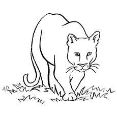 Cougar Coloring Page - Southern South American Cougar