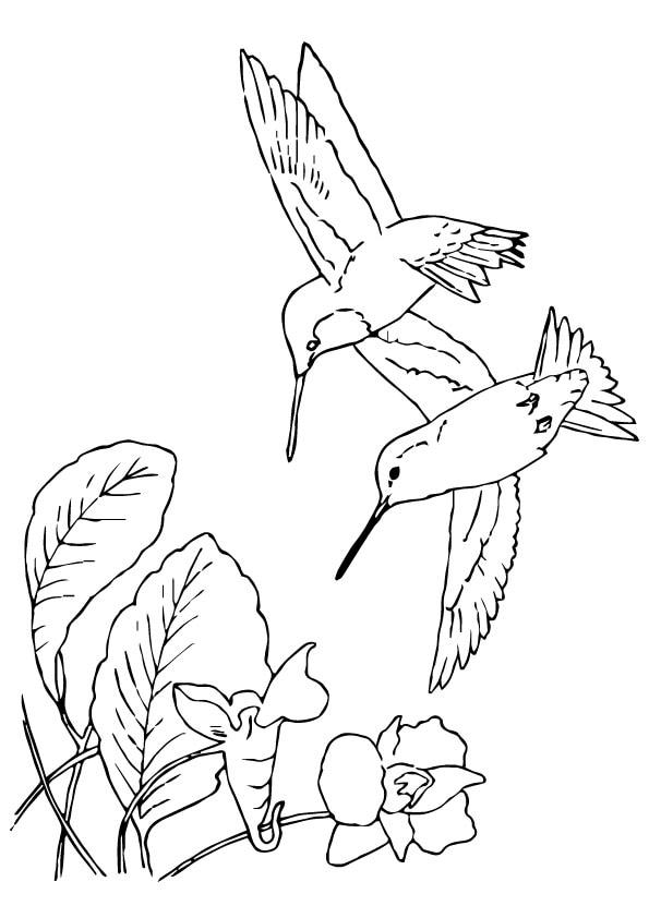 Spatuletail-Hummingbird