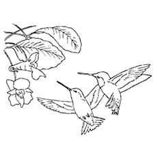 Hummingbird Coloring Pages - Spatuletail Hummingbird
