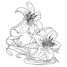 Lily Coloring Pages - Stargazer Lily