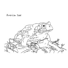 American Toad Coloring Page Free