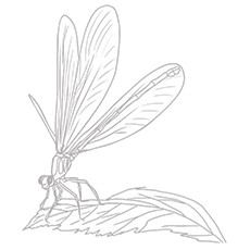 Dragonfly Coloring Page - Black Saddlebags Skimmer
