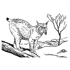 Lynx Coloring Page - Bob Cat