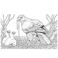 broad winged hawk coloring pages