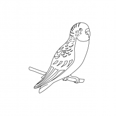 Budgie coloring Page